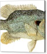 Study Of A Green Sunfish Canvas Print