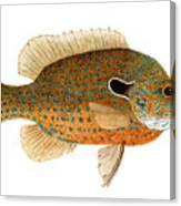 Study Of A Longear Sunfish Canvas Print