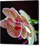 Study Of An Orchid 3 Canvas Print