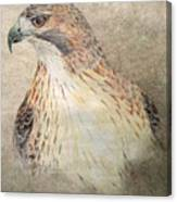 Study Of The Red-tail Hawk Canvas Print