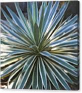 Stunning Agave Plant Canvas Print