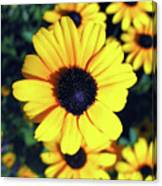Stunning Black Eyed Susan  Canvas Print