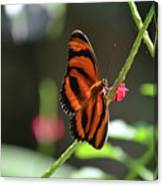 Stunning Little Orange Oak Tiger Butterfly In Nature Canvas Print