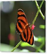 Stunning Oak Tiger Butterfly Resting On Flowers Canvas Print