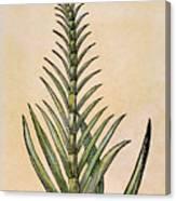 Sugar Cane, 1597 Canvas Print