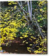 Sugar Maple Birch River Mirror Image Canvas Print