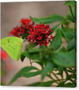 Sulphur Butterfly On Red Flower Canvas Print