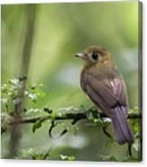 Sulphur-rumped Flycatcher Canvas Print