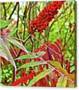 Sumac On White Pine Trail In Kent County, Michigan  Canvas Print