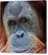 Sumatra Orangutan Portrait Canvas Print