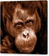 Sumatran Orangutan Female Canvas Print