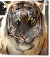 Sumatran Tiger-1440 Canvas Print