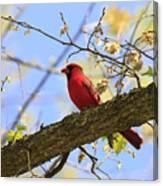 Summer Cardinal Canvas Print