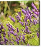 Summer Lavender In Lush Green Fields Canvas Print