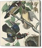 Summer Or Wood Duck Canvas Print
