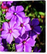 Summer Purple Phlox Canvas Print