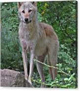 Summer Wolf Canvas Print