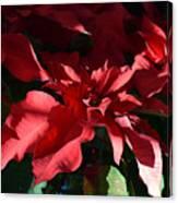 Sun Blushed Poinsettia  Canvas Print
