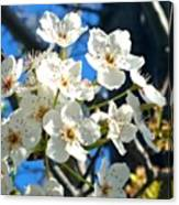 #sun Drenched #tree #blossoms So Sweet Canvas Print