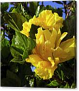 Sun-drenched Yellow Hibiscus Canvas Print