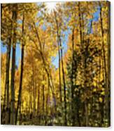 Sun Peaking Through The Aspens  Canvas Print