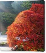 Sun Rays Over Old Japanese Maple Tree Canvas Print