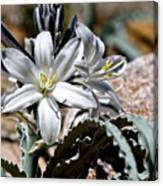Sun Soaked Desert Lily Canvas Print