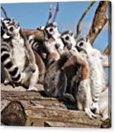Sunbathing Ring-tailed Lemurs Canvas Print