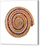 Sundial Shell Canvas Print