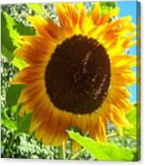 Sunflower 103 Canvas Print