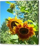Sunflower 106 Canvas Print
