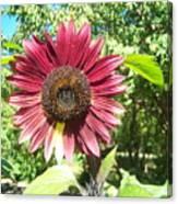Sunflower 110 Canvas Print