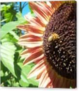 Sunflower 112 Canvas Print