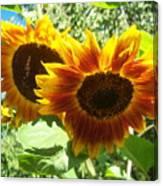 Sunflower 115 Canvas Print