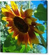 Sunflower 121 Canvas Print