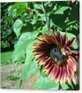 Sunflower 134 Canvas Print