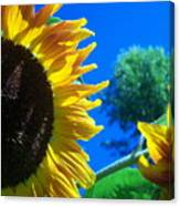 Sunflower 138 Canvas Print