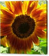 Sunflower 141 Canvas Print