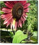 Sunflower 143 Canvas Print