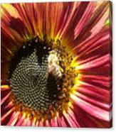 Sunflower 145 Canvas Print