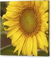 Sunflower-2 Canvas Print