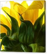 Sunflower 2015 2 Canvas Print
