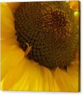 Sunflower 2015 5 Canvas Print