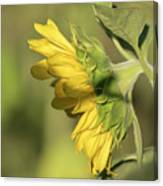 Sunflower 2016-1 Canvas Print