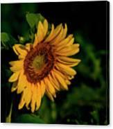 Sunflower 2017 11 Canvas Print