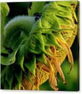 Sunflower 2017 14 Canvas Print