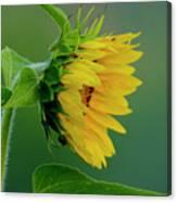 Sunflower 2017 2 Canvas Print
