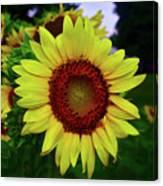 Sunflower After A Summer Rain Canvas Print