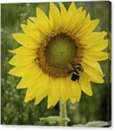 Sunflower Among The Weeds Canvas Print