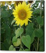 Sunflower Amungst Sunflower's Canvas Print